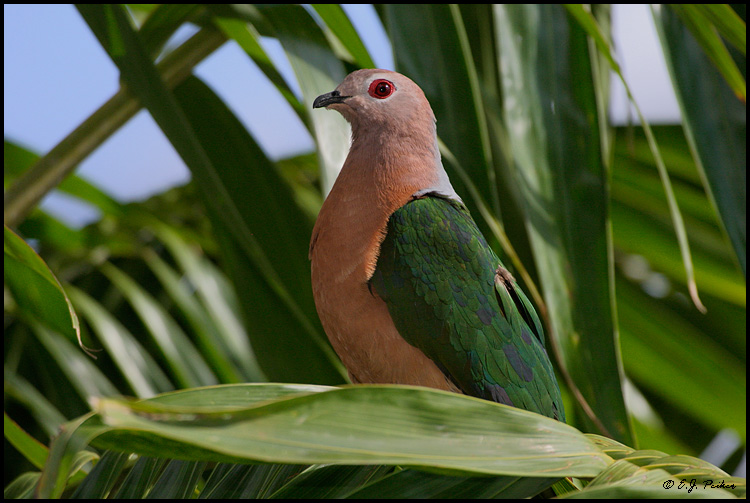 Emerald Dove, Miami, FL