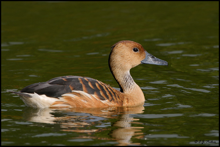 Fulvous Whistling Duck, Miami, FL