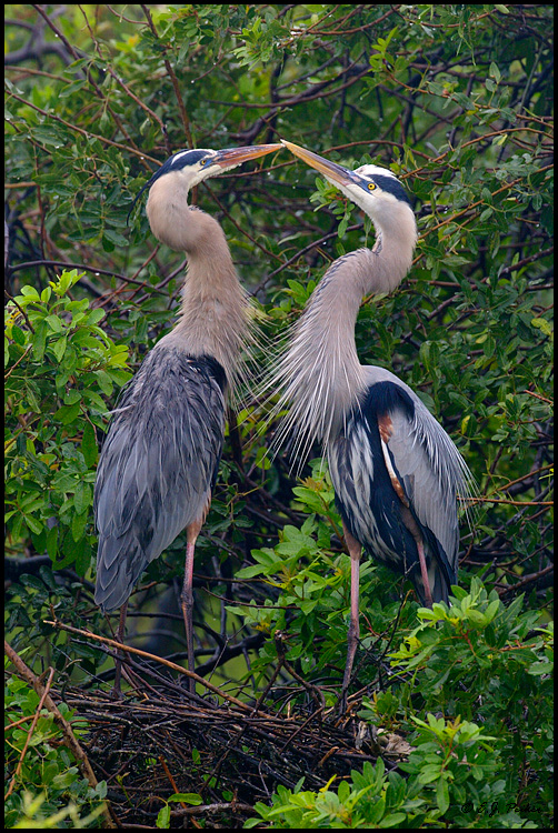 Great Blue Heron Kiss, Venice, FL