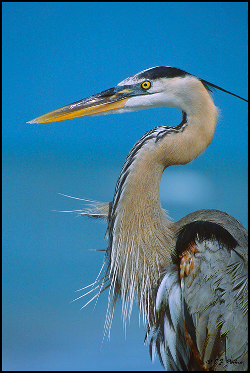 Great Blue Heron, Sanibel, FL