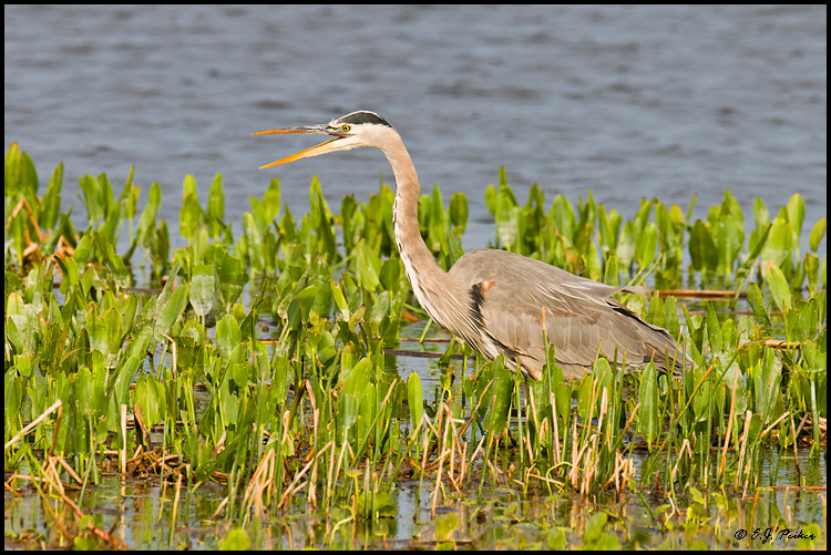 Great Blue Heron, Melbourne, FL