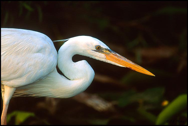 White herring bird - photo#21