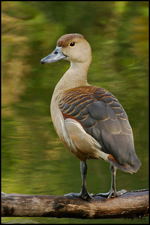 african animals of lesser whistling duck still