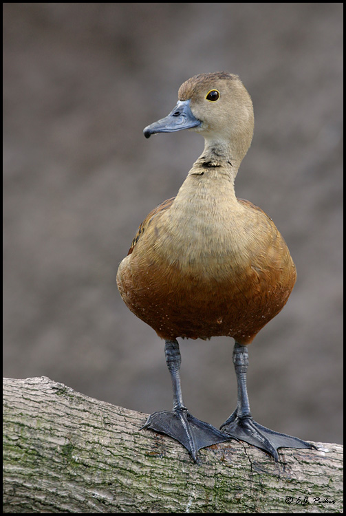 wild animals of lesser whistling duck wikipedia