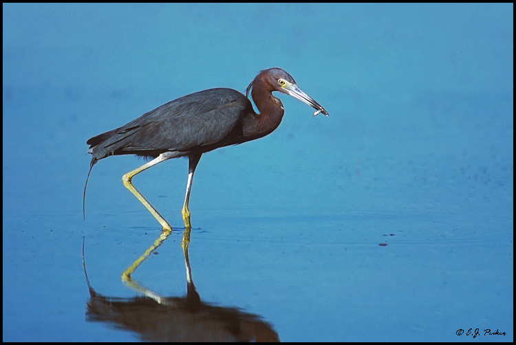 Little Blue Heron, Ft Myers Beach, FL