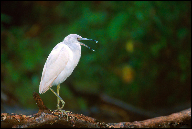 Little Blue Heron, Corkscrew Swamp, FL