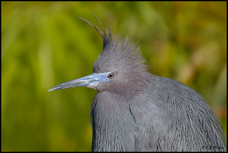 Little Blue Heron, St. Augustine, FL