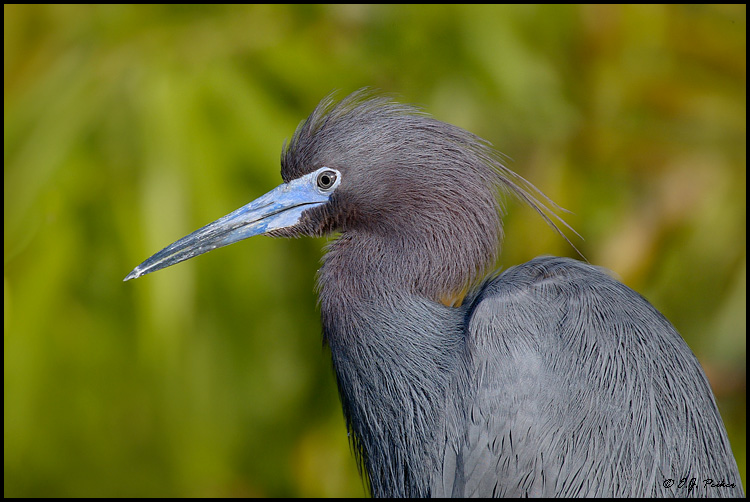 Little Blue Heron, Everglades NP, FL