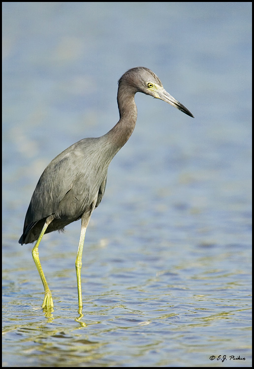 Little Blue Heron, Estero, FL
