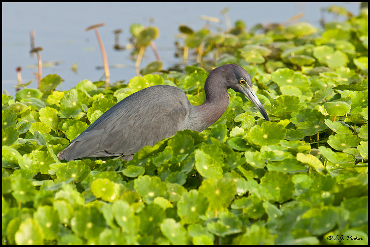 Little Blue Heron, Melbourne, FL