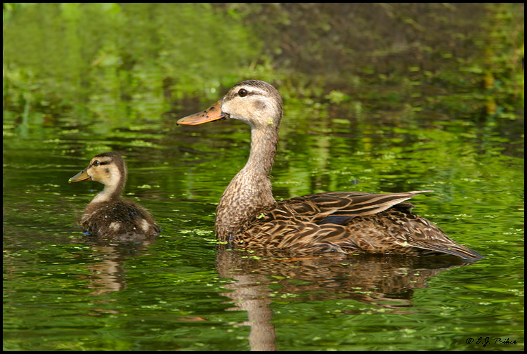 Mottled Duck, Wakodahatchee, FL