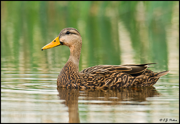 Mottled Duck, Melbourne, FL