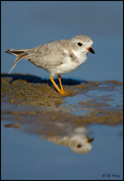 Piping Plover, Ft. Myers, FL