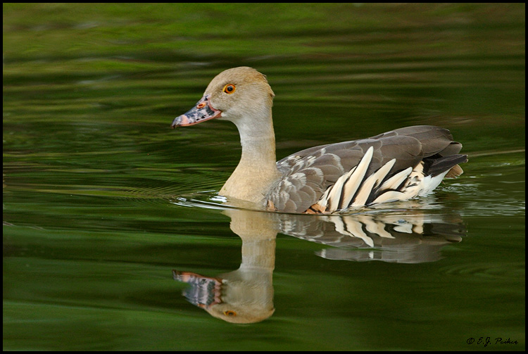 Plumed Whistling Duck, Miami, FL