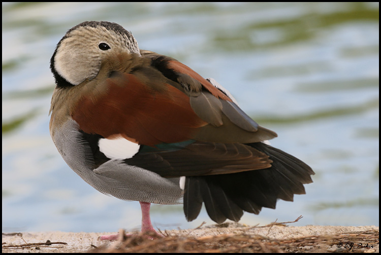 Ringed Teal, Miami, FL