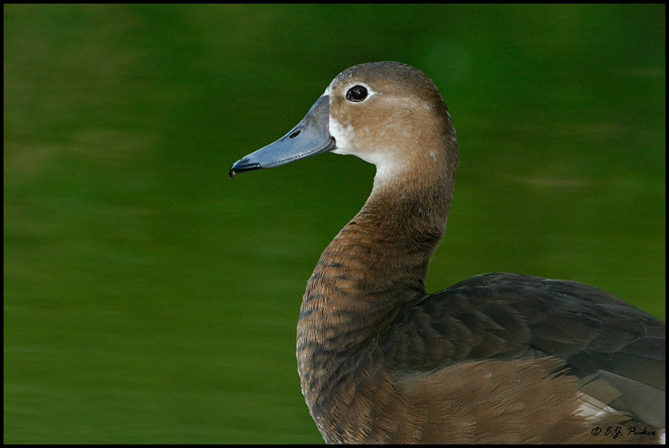 Rosy-billed Pochard,Miami, FL