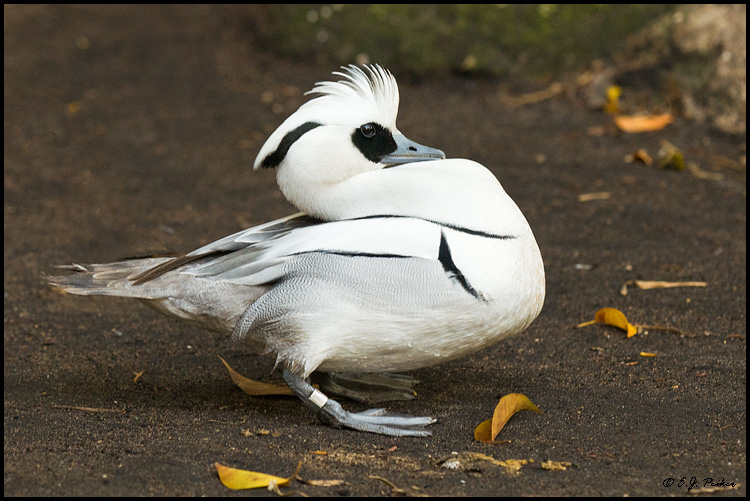 Smew (C), West Palm Beach, FL