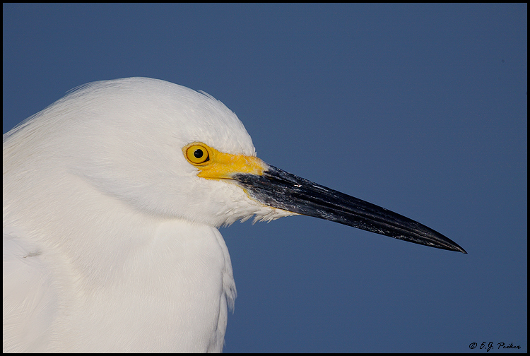Snowy Egret, Ft. Myers Beach, FL