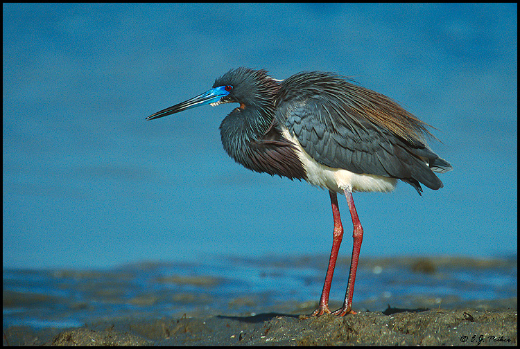 Tri-colored Heron, Ft. Myers Beach, FL