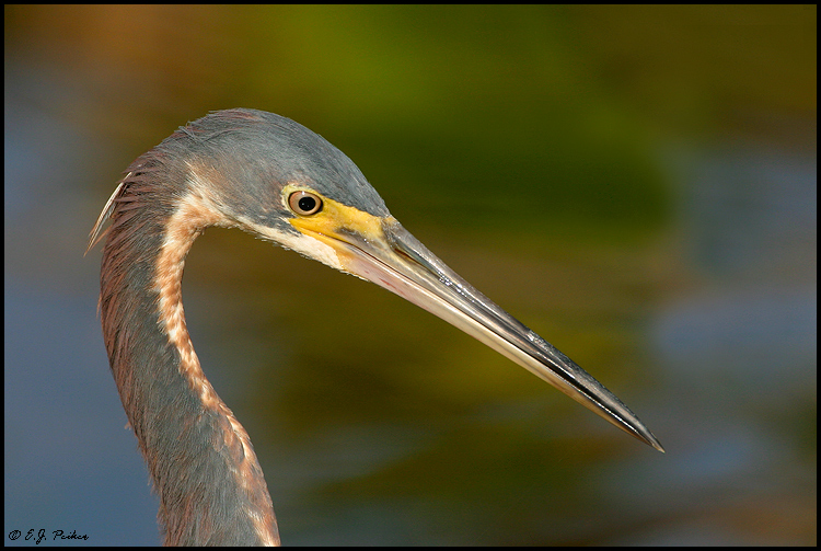 Tricolored Heron, St. Augustine, FL