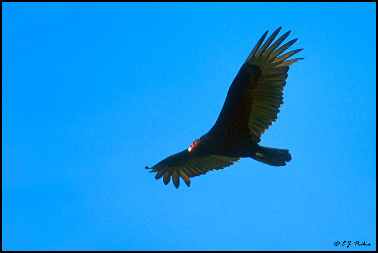 Turkey Vulture, Captiva Island, FL