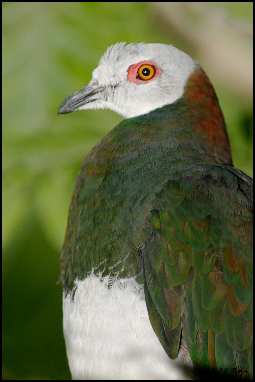 White-bellied Imperial Pigeon, Miami, FL