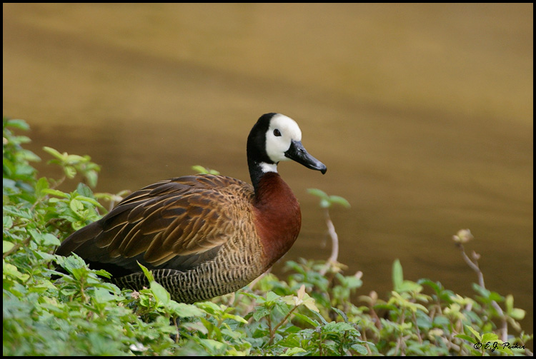 White-faced Whistling Duck,Miami, FL