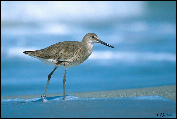 Willet, Captiva, FL