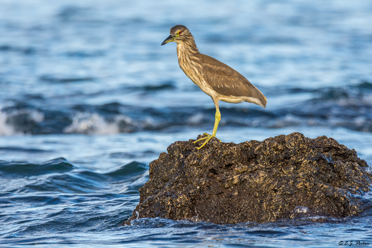 Black-crowned Night Heron, Hawaii