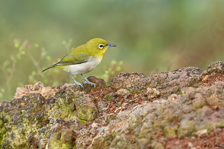Japanese White-eye; Kauai, HI