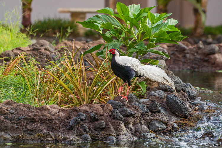Silver Pheasant, Hawaii