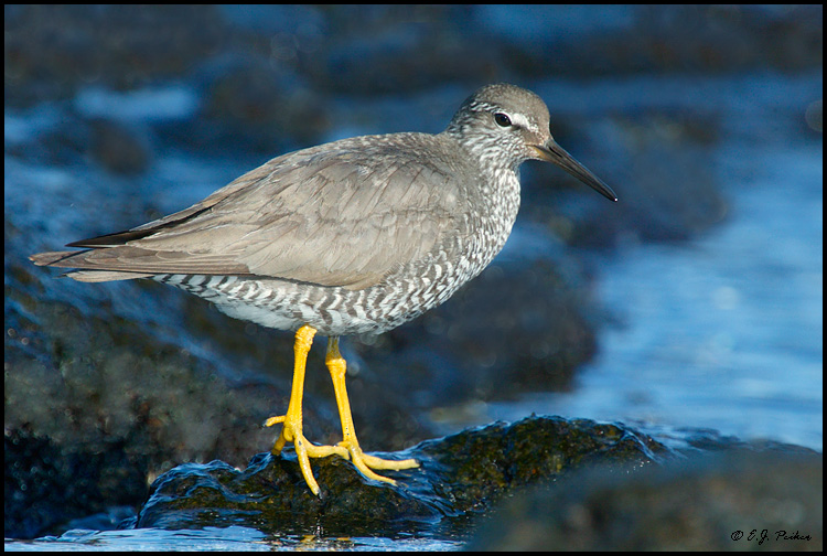 Wandering Tattler, Island of Hawaii