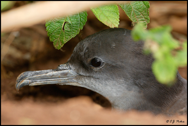 Wedge-tailed Shearwater, Kilauea NWR, Kauai