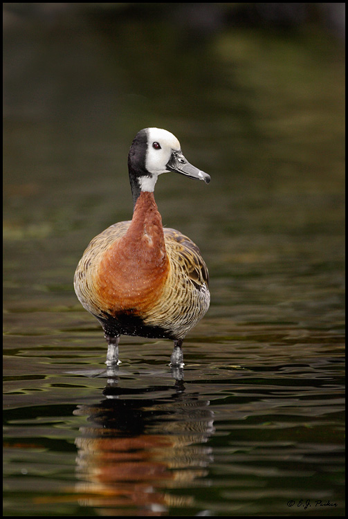 White-faced Whistling Duck, Lihue, HI