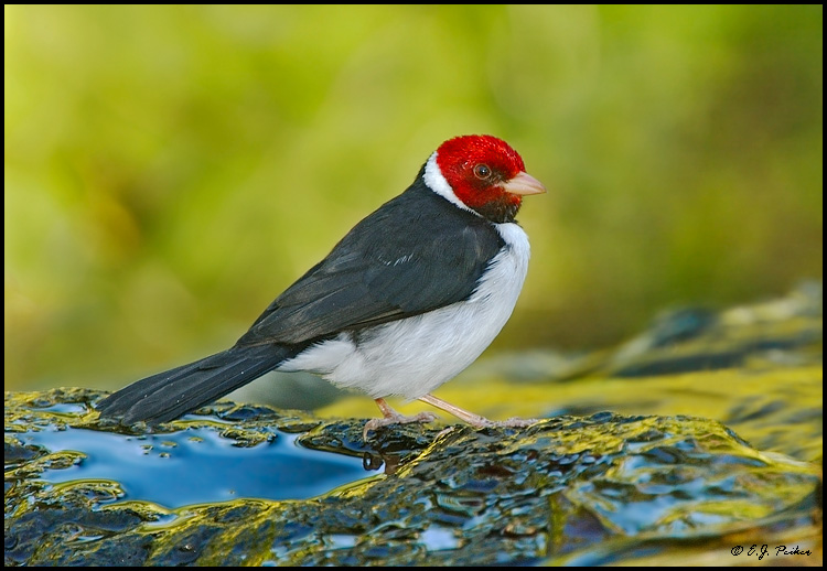 Yellow Billed Cardinal Page