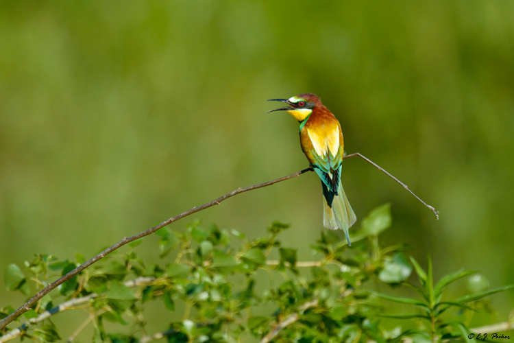 European Bee-eater, Hungary