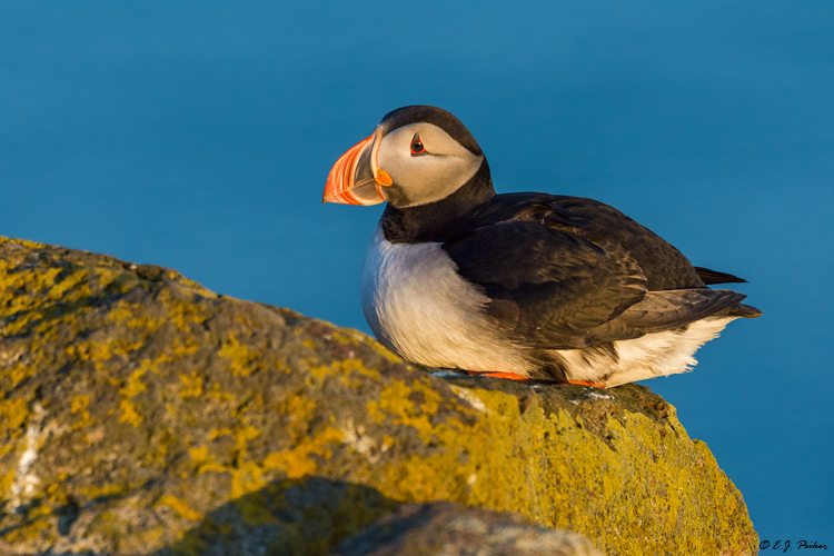 Atlantic Puffin, Iceland