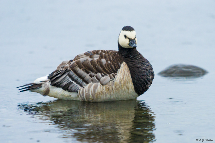 Barnacle Goose, Iceland