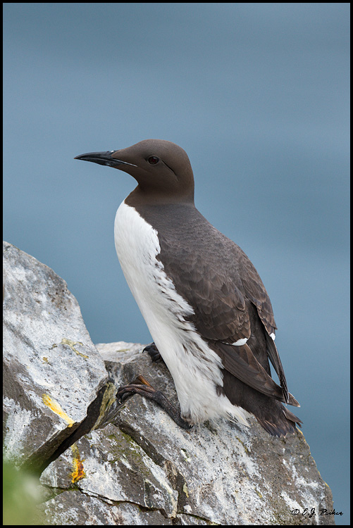Common Murre, Iceland