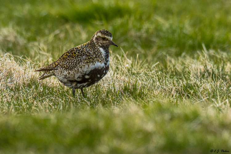 Great Golden Plover, Iceland