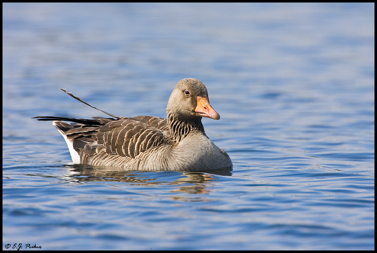 Graylag Goose, Iceland