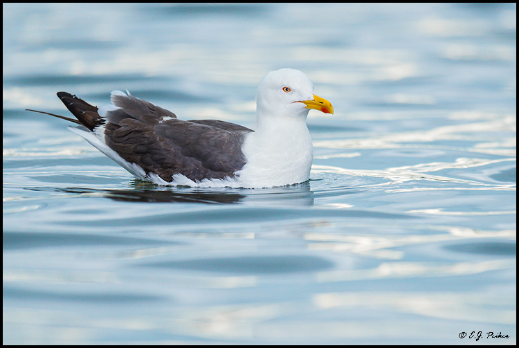 Lesser Black-backed Gull, Iceland