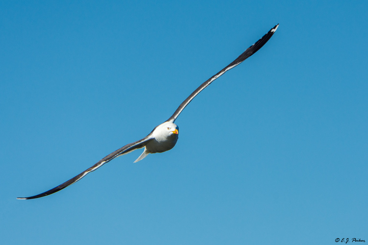 Lesser Black-backed Gull Page