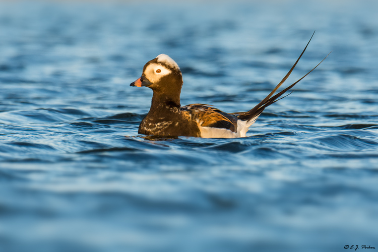 Long-tailed Duck, Iceland