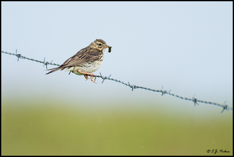 Meadow Pipit, Iceland