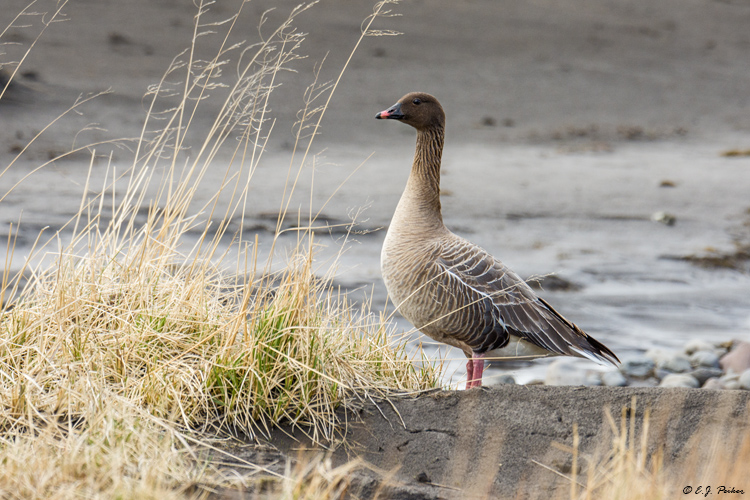 Pink-footed Goose, Nordurland, Iceland