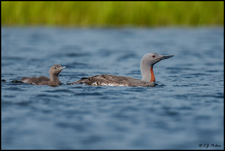 Red-throated Loon, Iceland