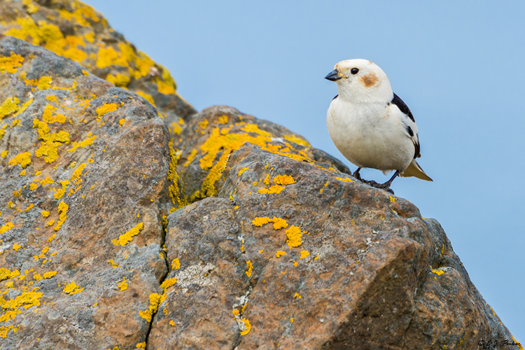 Snow Bunting, Iceland