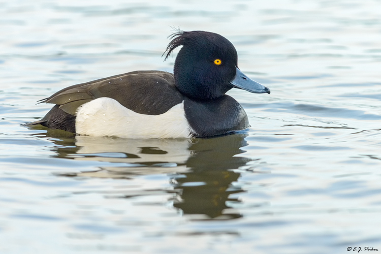 Tufted Duck, Iceland