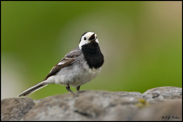 White Wagtail, Iceland